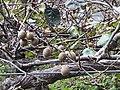 獼猴桃 Actinidia chinensis Planch - panoramio.jpg