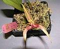 石豆蘭屬 Bulbophyllum putidum hybrid -香港沙田國蘭展 Shatin Orchid Show, Hong Kong- (38988786512).jpg