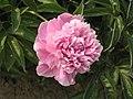 芍藥-妒花魁 Paeonia lactiflora 'Envy of Flower Champion' -瀋陽植物園 Shenyang Botanical Garden, China- (12380141025).jpg