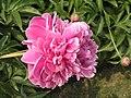 芍藥-雙紅樓 Paeonia lactiflora 'Double Red Pavilion' -瀋陽植物園 Shenyang Botanical Garden, China- (12403733135).jpg