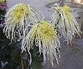 菊花-絲髮型 Chrysanthemum morifolium Silky-hair-tubular-series -香港雲泉仙館 Ping Che, Hong Kong- (9255246086).jpg