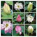 蓮花 Nelumbo nucifera cultivars 3 -澳門龍環葡韻 Macau Lotus Show, China- (9219876603).jpg