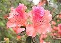 金毛杜鵑 Rhododendron oldhamii -台北陽明山公園 Yangmingshan National Park, Taiwan- (9207641830).jpg