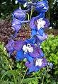 高翠雀花(大飛燕草) Delphinium elatum (Delphinium cultorum) -杭州花港 Hangzhou, China- (18005834601).jpg