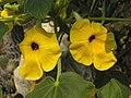 黃花胡麻 Uncarina grandidieri -北京植物園 Beijing Botanical Garden, China- (9213350101).jpg