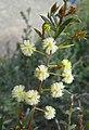 黑木相思 Acacia melanoxylon -澳洲塔斯曼尼亞 Tasman Peninsula, Tasmania- (10867934404).jpg