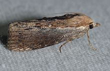- 5622 – Galleria mellonella – Greater Wax Moth (14701408170).jpg