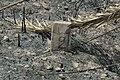 0071אבן מיל במסילת רכבת העמק ליד קיבוץ אשדות יעקב -דלהמיה- התגלה לאחר שריפה.jpg