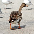 008 - GREATER WHITE-FRONTED GOOSE (3-4-07) sloco, ca (8707851436).jpg