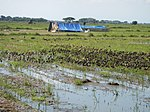 03306jfBirds Sanctuary Ducks Wetland Marshes Rice Fields Candaba Pampangafvf 15.JPG