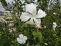 0581jfHibiscus rosa-sinensis White Pink Cultivarsfvf 05.jpg