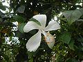 0601jfHibiscus rosa-sinensis White Cultivarsfvf 07.jpg