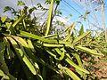 0638jfPaddy fields Pitaya Ilog-Bulo San Miguel Bulacan Farm Market Roadfvf 11.jpg