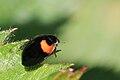 10-spot ladybird (Adalia decempunctata) Cumnor.jpg