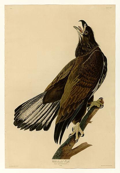 File:126 White-headed Eagle.jpg
