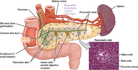 Diagram showing anatomy and functions of the pancreas.