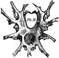 1911 Britannica-Arachnida-mygalomorphous spiders2.png