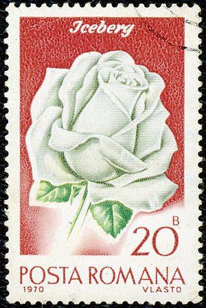 Rosa Iceberg - 'Iceberg' depicted on a 1970 Romanian stamp
