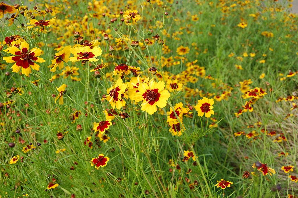 Plains coreopsis, Coreopsis tinctoria, photo by RI via Wikimedia Commons
