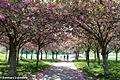 20100429-Kirschblüten.jpg