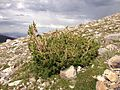 2013-07-14 16 13 21 Krummholz Limber Pine at tree line along the Wheeler Peak Summit Trail.jpg