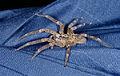 2014.08.29.-3-Mannheim Vogelstang--Kraeuseljagdspinne-Zoropsis spinimana-Weibchen.jpg