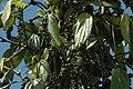 2014 Borneo Luyten-De-Hauwere-Plant-02.jpg