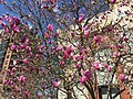 2015-04-11 13 28 24 Ann Magnolia blossoms on New Dominion Parkway in Reston, Virginia.jpg