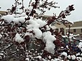 2015-05-07 07 48 47 New leaves covered by a late spring wet snowfall on a Purple-leaf Plum on Silver Street in Elko, Nevada.jpg