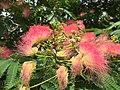 2015-06-13 16 15 08 Mimosa flowers along Old Ox Road (Virginia State Secondary Route 606) in Sterling, Virginia.jpg