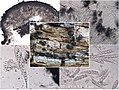 2016-05-21 Patellaria atrata (Hedw.) Fr 620152.jpg