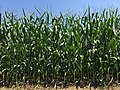 2016-07-21 12 16 29 Corn field along Virginia State Route 230 (Orange Road) just west of U.S. Route 15 (James Madison Highway) in Madison Mills, Madison County, Virginia.jpg