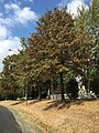 2016-09-17 13 37 55 Pin Oak with browning foliage due to drought along Franklin Farm Road in the Franklin Farm section of Oak Hill, Fairfax County, Virginia.jpg