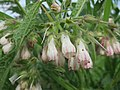 20160514Symphytum × uplandicum2.jpg