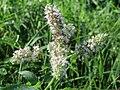 20160831Mentha longifolia2.jpg