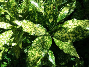 Aucuba -  Species with leaves of variegated color