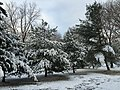 2017-12-10 08 32 18 Snow-covered White Pine saplings along a walking path on the morning after a wet snowfall in the Franklin Farm section of Oak Hill, Fairfax County, Virginia.jpg