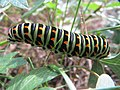 20171001Papilio machaon1.jpg