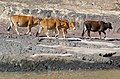 20171112 Cows on the bank of Mekong River, Luang Prabang province 1755 DxO.jpg