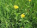 2018-05-13 (165) Buphthalmum salicifolium (ox-eye) at Bichlhäusl in Frankenfels, Austria.jpg