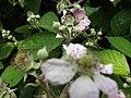 2018-06-28 Blackberry (Rubus) bush in flower, Church Road, Trimingham (3).JPG