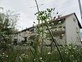 20180404Capsella bursa-pastoris2.jpg