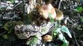20180925 Ganoderma applanatum Pholiota squarrosa.png
