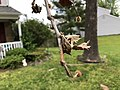 2020-05-27 09 30 10 An American sycamore branch with a severe infection of Sycamore anthracnose along Tranquility Court in the Franklin Farm section of Oak Hill, Fairfax County, Virginia.jpg