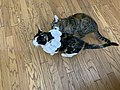 2020-07-22 17 30 39 A tabby cat eating a paper necklace on a Calico cat while standing on a wood floor in the Franklin Farm section of Oak Hill, Fairfax County, Virginia.jpg