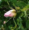 20290608 Rose.jpg