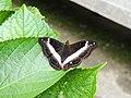 347紫單帶蛺蝶4(劉威良攝) (12945002944).jpg