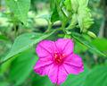 4 o' clock flower.jpg