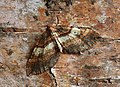 70.066 BF1746 Shoulder-stripe, Anticlea badiata (8681417632).jpg