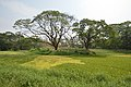 AJC Bose Indian Botanic Garden - Howrah 2018-04-01 2357.JPG